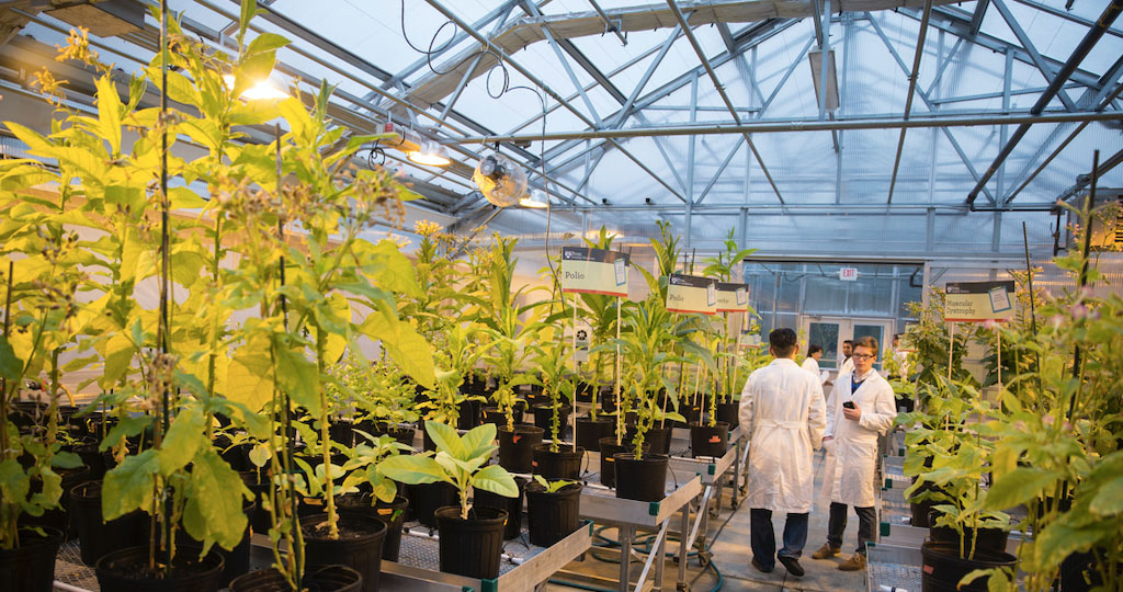Plants which have therapeutic proteins introduced into their cells are grown in a high-tech greenhouse to produce affordable drugs (Daniell lab)