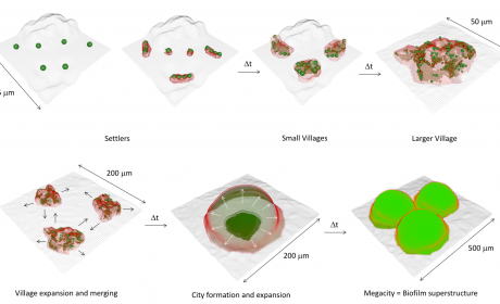 Research from Dr. Michel Koo Shows Bacteria Form Biofilms Like Settlers Form Cities